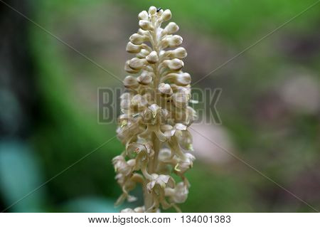 Macro photo of birds-nest orchid (Neottia nidus-avis) flowers a colorless parasitic and non-photosynthetic wild orchid.