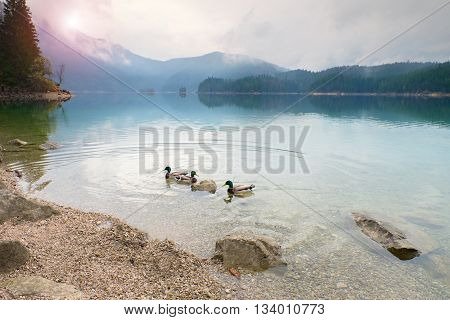 Hungry Tamed Duck On Blue Water Level. Mountain  Lake