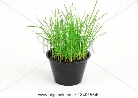 green grass growing in small pot, isolated on white background