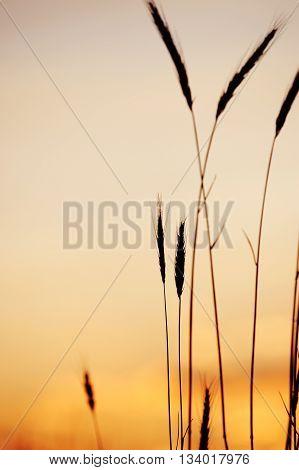 foxtail grass against dusk sunlight sky, vertical composition