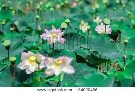 Blooming lotus flower in a field with pink petals blooming beautifully, surrounded by calyx prepare for lotus seeds for food, this idyllic rustic flowers in countryside very beautiful Vietnam