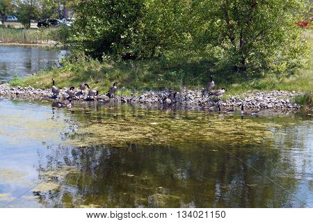 A flock of Canada geese (Branta canadensis) inhabits a retention pond in Shorewood, Illinois during the summer.