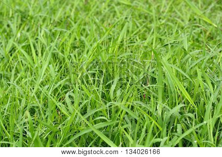 Green Grass On Natural Background