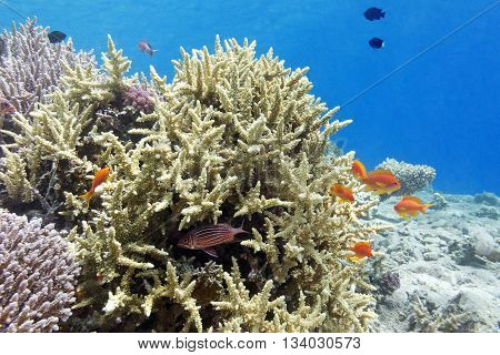 coral reef with hard corals and fishes athias in tropical sea underwater.