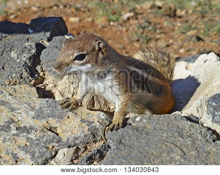 curious cute meercat climbing up a rock