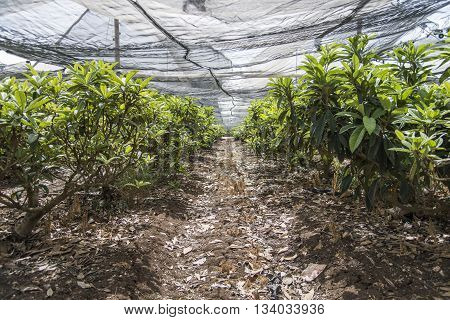 Loquat growing in plantation greenhouse industry agriculture