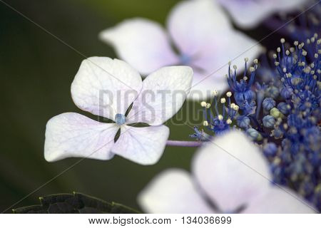 White and blue lacecap hydrangea flower in the rainy season