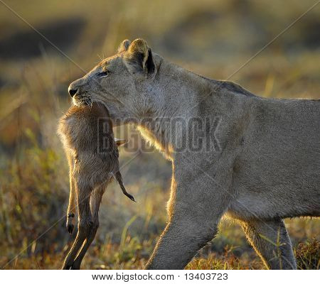 A lioness with new-born antelope prey. The lioness goes on savanna and bears the killed kid of an antelope. A yellow grass. The morning sun. poster