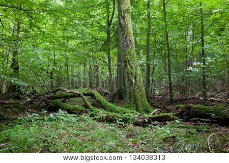Fresh deciduous stand of Bialowieza Forest in summertime with dead broken oak in foreground moss wrapped, Bialowieza Forest, Poland, Europe