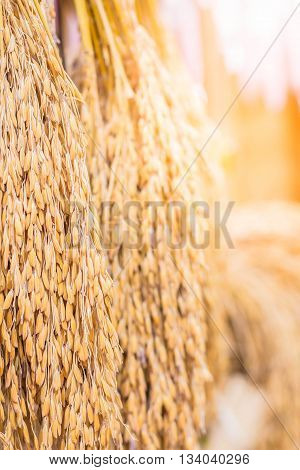 Rice of hung together after at harvest.