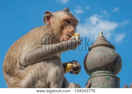 Monkey eating corn and blue sky background