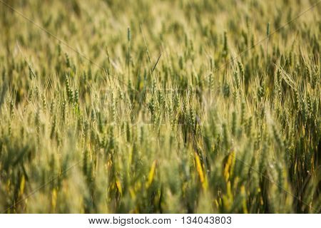 Color image of a wheat field in summer.