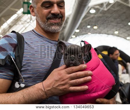 MILAN ITALY - JUNE 12: French bulldog puppy at Quattrozampeinfiera event and activities dedicated to dogs cats and their owners on JUNE 12 2016 in Milan.