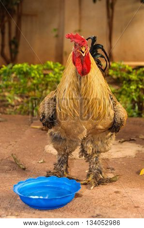 A rooster with water in a blue basin in a farmyard, in Mali, Africa
