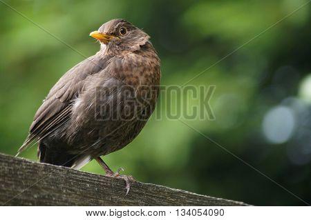 Blackbird Turdus merula sitting on a plank on one leg