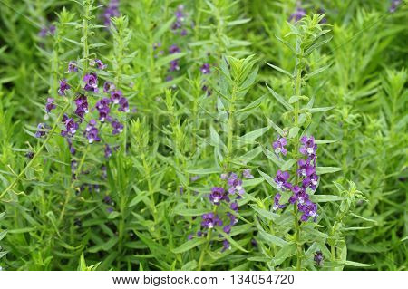 Close Up Of Purple Flower Or Waew Wichian Or Angelonia Goyazensis Benth; Thai Style Forget-me-not