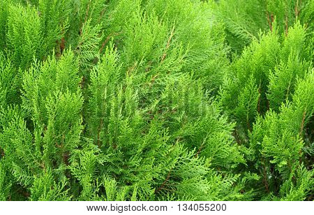 Pine Leaves Of Nature , Pine Texture Background