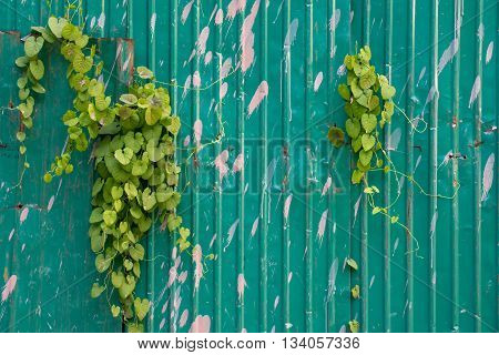 Leafy vines creeping through corrugated sheet metal walls. Urban lifestyle concept background.