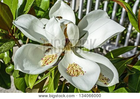 A beautiful white blossom Magnolia and bees that visit it.