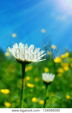 Camomile field. Daisy in the sun. Nature background with wildflowers and sunshine.