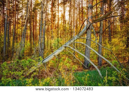 Windfall In Forest. Storm Damage. Fallen Tree In Coniferous Forest After Strong Hurricane Wind In Russia