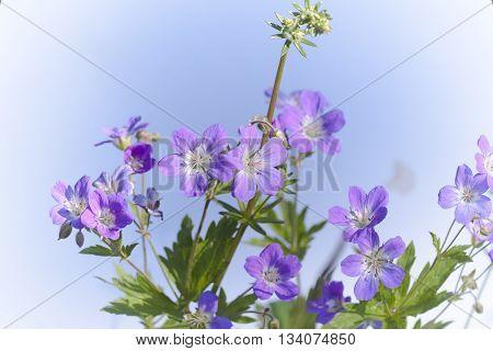 a blue woodland geranium or wood cranesbill
