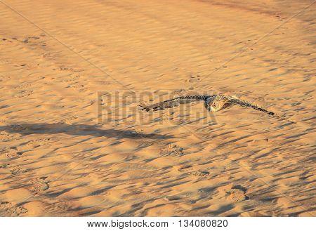 Desert Eagle Owl flying over dunes of Dubai Desert Conservation Reserve, UAE