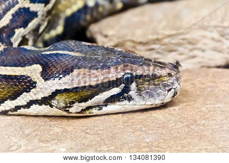 Photo of reticulated python head with fly on the nose