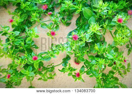 Baby sun rose flower (Aptenia cordifolia)