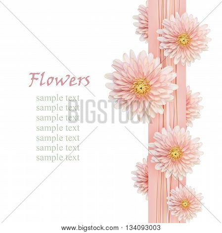 Aster flowers on pink ribbon isolated on white