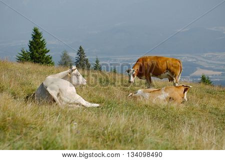 Cows resting on an alpine field
