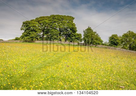 Path to Harbottle Castle, through a field of buttercups, in Northumberland