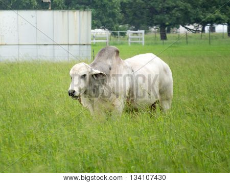 large female buffalo greyish white in a green field