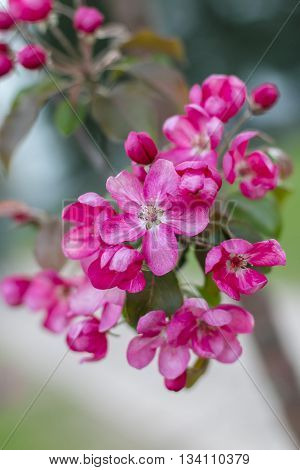 Pink apple flowers in bloom. Spring. Aged photo. Flowers bloom in spring season. Apple Blossom Time. Blossoming apple flowers in spring. Retro filter photo. Blossom apple tree