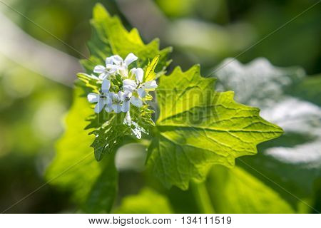 Plant detail - garlic root - Alliaria petiolata