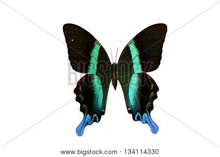 Rare Butterfly Majestic Green Swallowtail (Papilio blumei) isolated on a white background