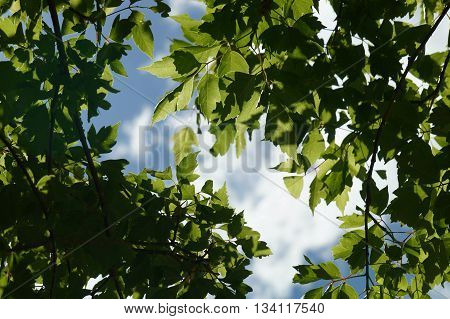 Green Leaves on Blue Sky and Clouds Background