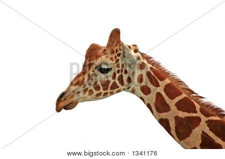 Giraffe - Sadness On White