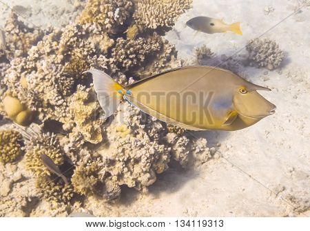 Naso Unicornis. Red Sea. Egypt