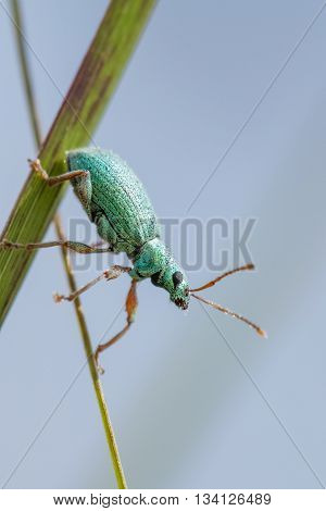 Green Weevil (Polydrusus formosus) clinging to a reed stem.