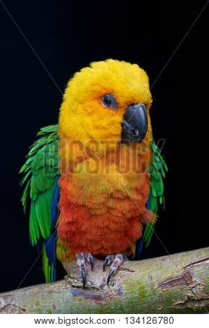 Jandaya parakeet (Aratinga jandaya) resting on a branch isolated on a dark background