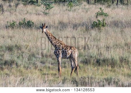 Giraffe grazing in the Welgevonden Game Reserve in South Africa
