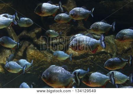 Piranhas fish flock, red bellied pacu, diving, tropical underwater predator hunting, Pygocentrus Nattereri, reef and rocks on background, wildlife