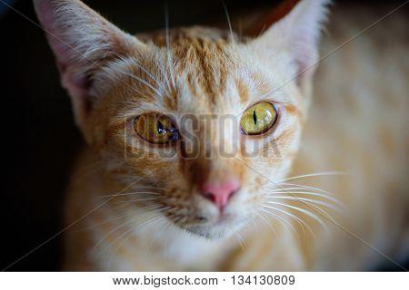 Close up lying street Thai cat. Selective focus of eye.