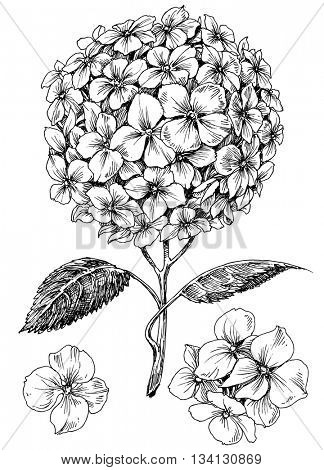 Hydrangea flower set. Hand drawn detailed hortensia
