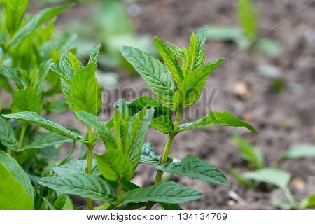 Spearmint or Peppermint Garden - herbaceous plant the type species of the genus Mint family Lamiaceae