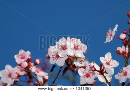Apple  Blossoms Against Deep Blue Sky