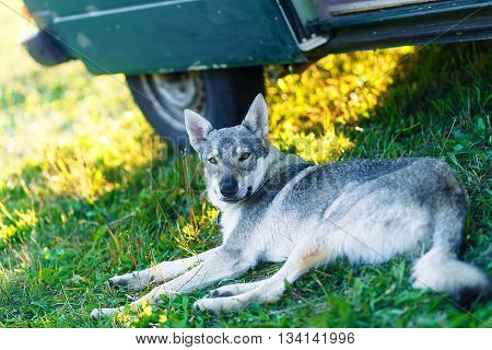 domesticated wolf dog resting relaxed on a meadow in shadow of caravan car. Czechoslovakian shepherd. Eye contact poster
