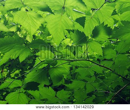 New green raspberry plant  leaves in spring