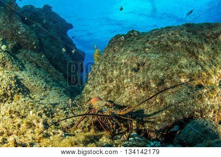 Picture shows a Lobster at Isla Revillagigedos, Mexico